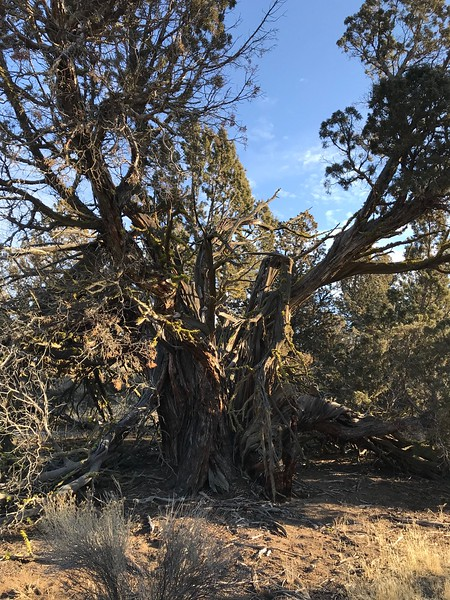 Ancient junipers all around