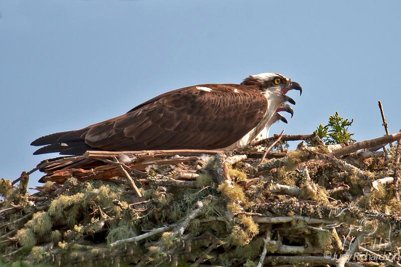 Osprey juveniles calling~nest on bridge over Coos River, Oregon