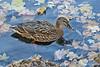 Mallard duck in fall leaves