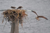 Osprey adult holding a fish to feed to chicks sitting in a nest on as post in the Columbia River, Portland, Oregon.