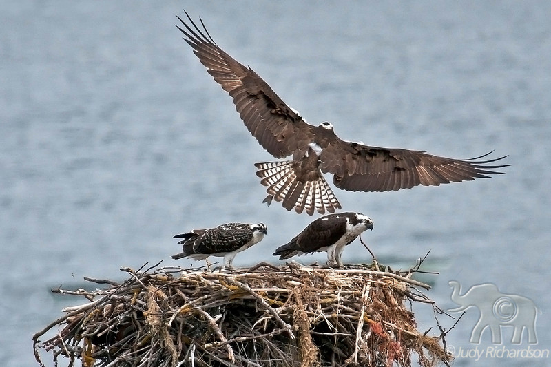 Osprey adult over nest with a fish tail showing. Nest is located in the Columbia River in Northern Portland, Oregon area.