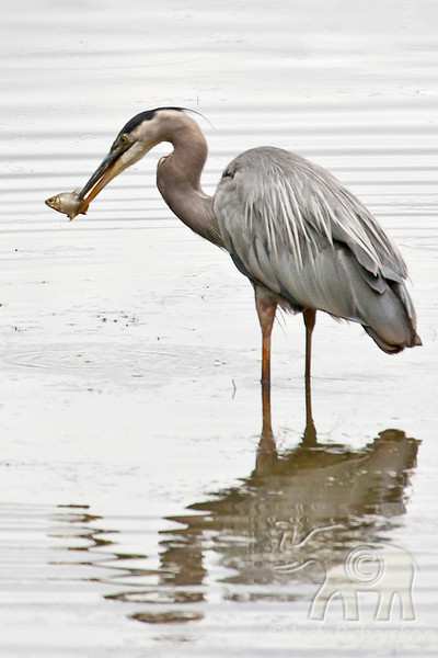 Great Blue Heron catching a fish in Portland, Oregon.