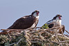 Osprey squawking for food from nest on bridge over Coos River, Oregon