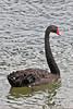 Black Swan in Columbia River, Portland, Oregon.