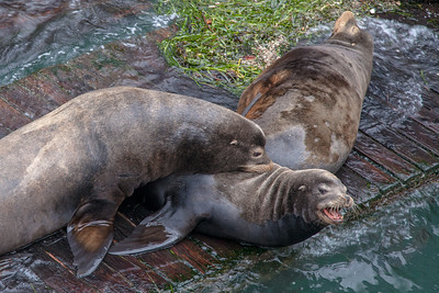 Sea lions, Newport, Oregon.