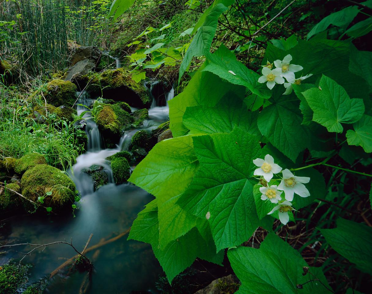 Nez Perse Precious Lands, Joseph Creek Northeastern Oregon.  Flowering thimble berries, Rubus parviflorus, in the Tamarack Creek drainage.