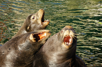 Three Sea Lions