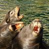 Three Sea Lions