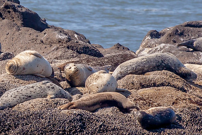 Harbor seals  just hangin' on rocks  at Yaquina Head Outstanding Natural Area, Newport, Oregon.