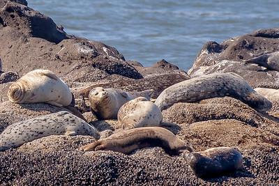 Harbor seals  just hangin' on rocks  at Yaquina Head Outstanding Natural Area, Newport, Oregon.
