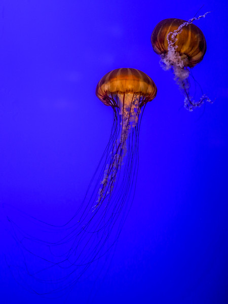 Jelly Fish at the Oregon Coast Aquarium