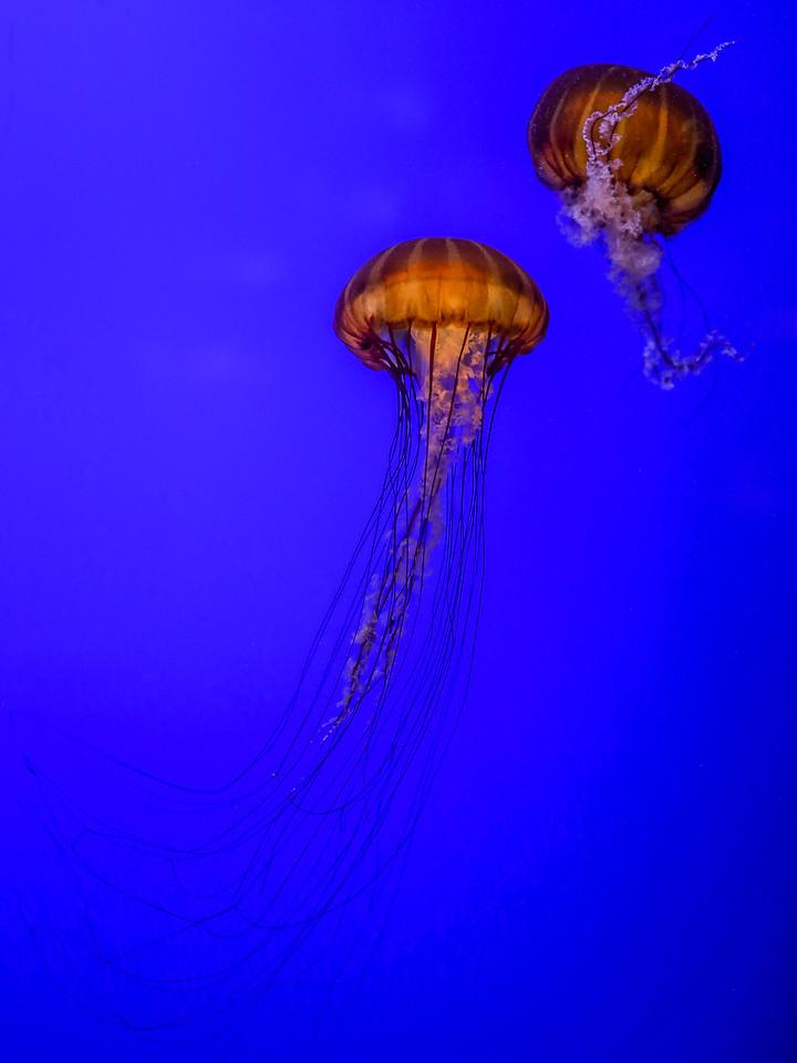 Jelly Fish at the Oregon Coast Aquarium