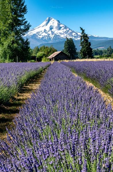 Lavender Fields and Mt. Hood ~ Oregon