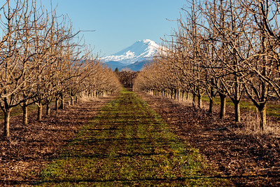 Orchard in March