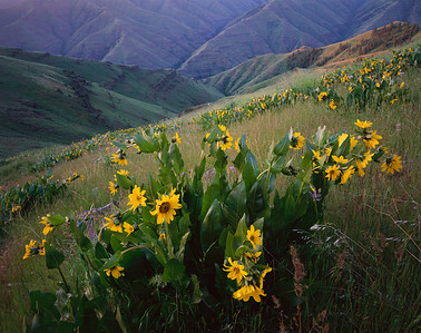 Dawn light with flowering balsamroot, Balsamorhiza sagittata, with Joseph Creek Canyon in background, on Nez Perse Indian Reservation, Oregon.