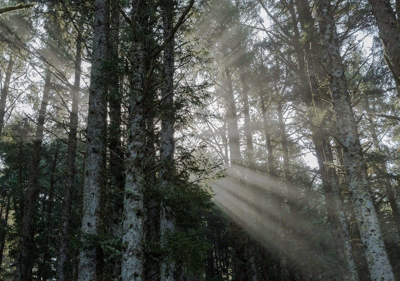 Filtered Sitka Spruce Sun Rays