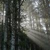 Filtered Sitka Spruce Sun Rays