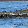 Sealions and birds at Cape Arago