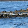 Sealions and birds at Cape Arago