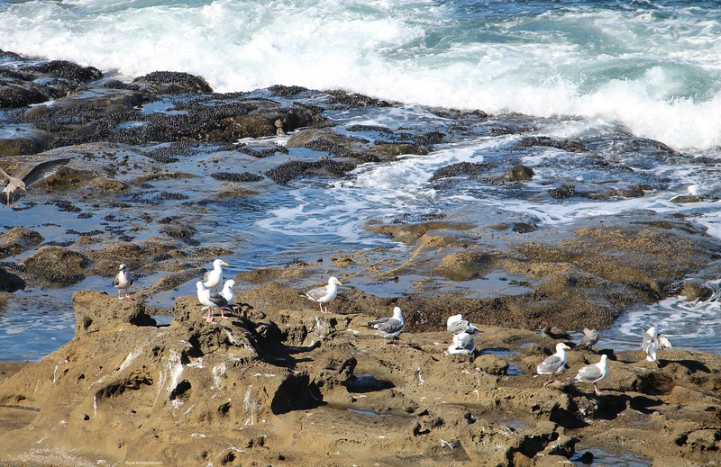 Seagulls at Cape Arago
