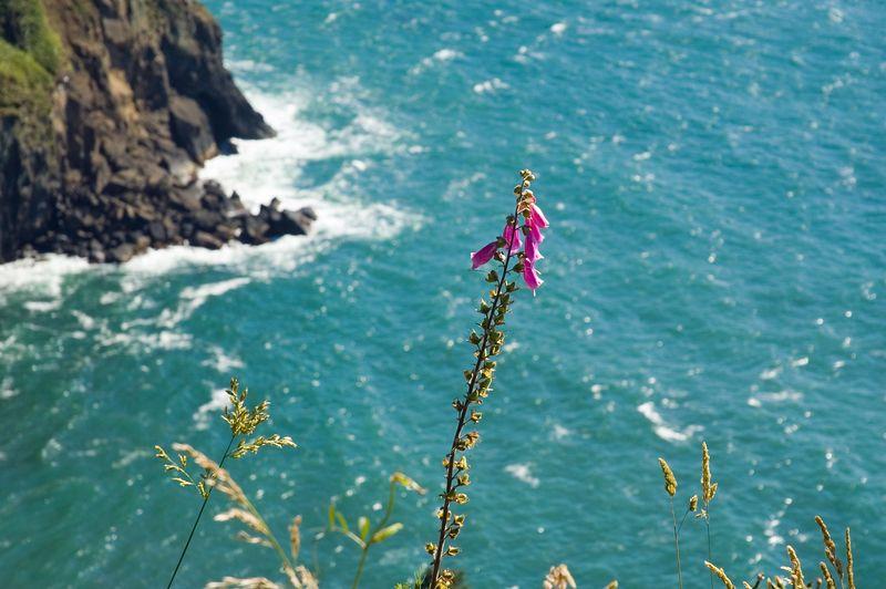 Oregon Ocean Coast wildflowers (ND70_2005-07-13DSC_1698-OtterCrestPurpleFlower-2 copy.jpg)