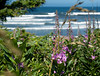 Ocean Wildflowers on the Central Oregon Coast<br /> Lincoln Beach, Oregon<br /> July 2006<br /> <br /> Copyright © 2006 Rick Kruer<br /> rickkruer.com<br /> <br /> ND70_2006-07-15DSC_4875-BeachFlowersLincolnBeachZoom-nice-4.psd