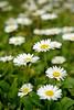 Miniature daises in a Medford Park<br /> © 2011 Jim Craven, All rights reserved.