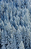 Snow covered fir trees in the Siskiyou Mountains<br /> © 2011 Jim Craven, All rights reserved.