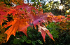 Autumn leaves in Lithia Park, Ashland<br /> © 2011 Jim Craven, All rights reserved.