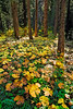Autumn trillium leaves near Union Creek<br /> © 2011 Jim Craven, All rights reserved.