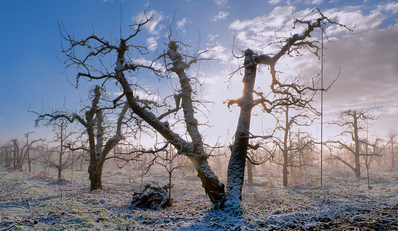 Frosty pear orchard.<br /> © 2011 Jim Craven, All rights reserved.