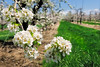 Pear blossoms<br /> © 2012 Jim Craven, All rights reserved.