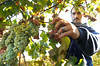 Chardonnay grape harvest.<br /> © 2011 Jim Craven, All rights reserved.