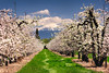 Mt McLoughlin and pear orchard.<br /> © 2012 Jim Craven, All rights reserved.