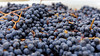 Tempranillo grape crushing<br /> © 2011 Jim Craven, All rights reserved.
