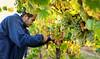 Chardonnay grape harvest.<br /> © 2011 Jim Craven, All rights reserved.