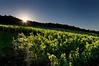 Irvine Vineyards. Ashland, Oregon.