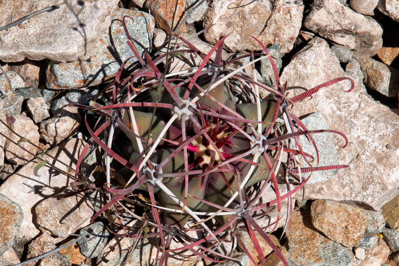 Fish Hook Barrel Cactus, Organ Pipe Cactus National Monument, Arizona