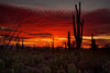 Saguaro Sunset - Saguaro National Park, Arizona - Jerry Negele - March 2009