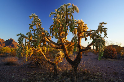 Chain Fruit Cholla Cactus