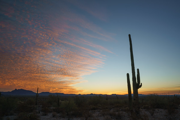 Saguaro Cactus at Sunrise