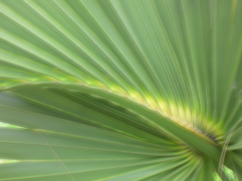Palm Ray