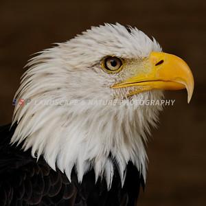 Golden Eagle - UK