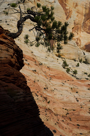 Zion bonsai tree #zion #zioncanyon #utah #bonsai
