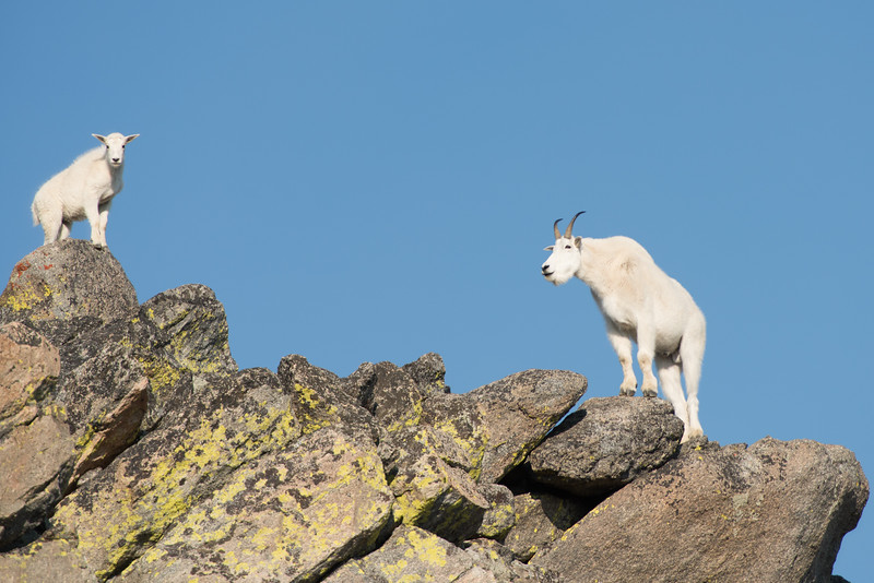 Mom and baby mountain goats in the Beartooth Absaroka Wilderness