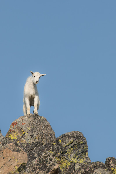Mountain Goat Kid in the Beartooth Absaroka Wilderness