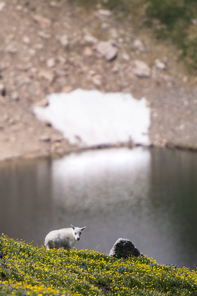 Mountain Goat Kid above Twin Lakes