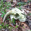 Goat skull found at Middle Creek.