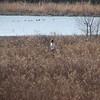 Sam crosses the prairie.  A flock of Bufflehead enjoys the pond.
