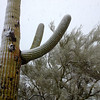 Feb 20 - snow on the cactus at Ironwood.  Photo by Barb Bryant.